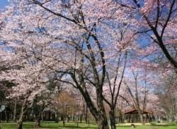 神楽岡公園 桜