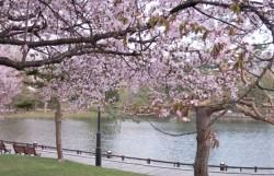 常盤公園 桜
