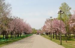 春光台公園 桜