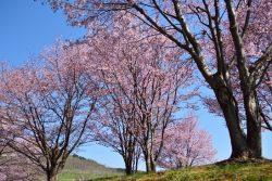 パレットヒルズ 桜