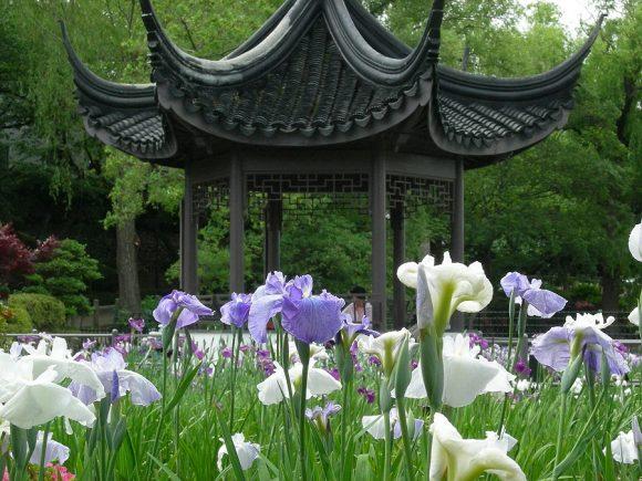 水月公園花菖蒲