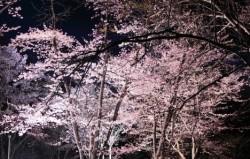 旭山公園 桜