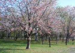 花咲スポーツ公園 桜