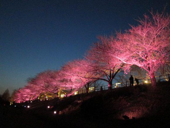桜並木 ライト