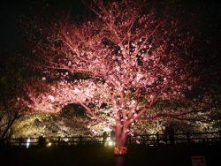 桜 ライトアップ1本